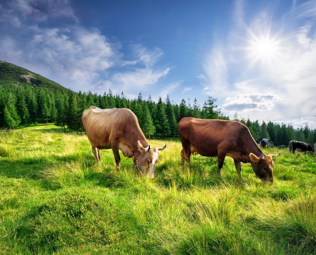 Najzdrowsza wołowina na świecie